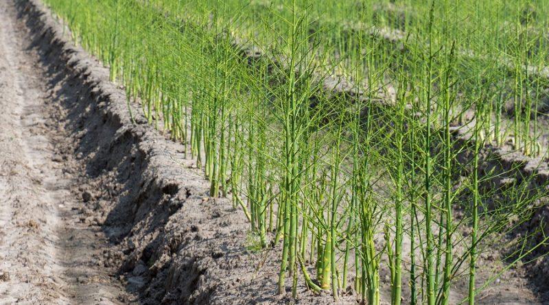 Ran an den Spargel: Betriebe können sich auf Unterstützung der Bevölkerung bei der Ernte verlassen